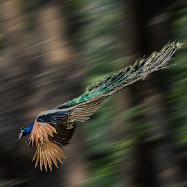 peacock in motion by Broz Ningombam - Animals Birds