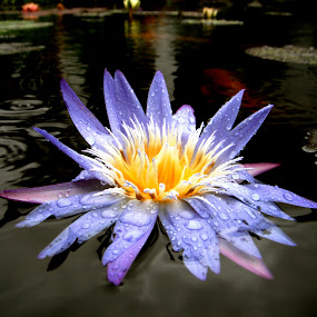 wet siam by Ryan Bunting - Nature Up Close Flowers - 2011-2013 ( lily, blue, tropical, raindrops, pond )