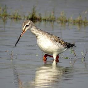 Marsh Sanspiper by Mainak Adak - Animals Birds ( bird shots, nature, wildlife, bird photos, bird photography )