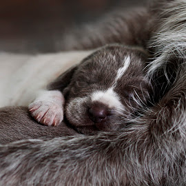 by Rado Ratic - Animals - Dogs Puppies