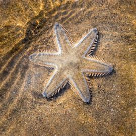 Fallen star by Amrita Bhattacharyya - Animals Sea Creatures