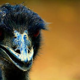 Emu Closeup by Himanchal Srivastava - Novices Only Wildlife ( #bird, #dayout, #nikond5200, #zoovisit, #picoftheday )