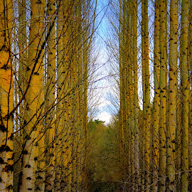 Through the Trees by Robyn Gael Ellsworth - Nature Up Close Trees & Bushes ( abstract, sky, trees, forest, yellow )