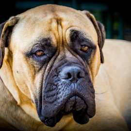 Serious Syd by Peter de Groot - Animals - Dogs Portraits ( pdgpix, cerg, cavern, big, dog, nose )