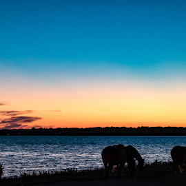 Sunset on Assateague Island with the wild horses.  by Carol Ward - Animals Horses ( assateague island md, sunset, assateague island, horse sillouette, wild horses,  )