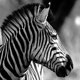 Zebra  by Lorraine Bettex - Black & White Animals