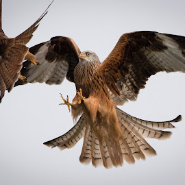Red Kite Scrap by Andrew Davies - Animals Birds ( bird of prey, fight, wales, scrap, red kite, red kites )
