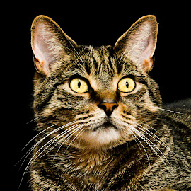 Back Background Tabby Portrait  by Vicki Roebuck - Animals - Cats Portraits ( black background, natural light, tabby, markings, eyes )