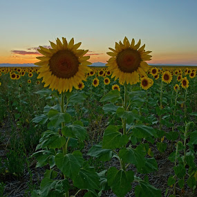 Sunflower Sunset by Justin Giffin - Flowers Flower Gardens ( mountains, sunset, sunflowers, colorado, landscape, flowers,  )