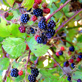 Pick Me! by Becky Luschei - Nature Up Close Gardens & Produce ( fruit, picked, waiting, black berries, ripe )