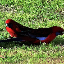 by Sarah Harding - Novices Only Wildlife ( bird, nature, novices only, wildlife, animal )