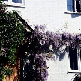 by Amanda Nolan - Buildings & Architecture Homes ( #wisteria, #country, #cottage, #england, #steps,  )