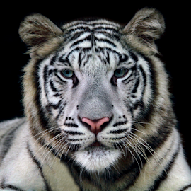 White tiger by Kurit Afsheen - Animals Lions, Tigers & Big Cats ( tiger, head, closeup )