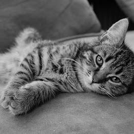 Lazy cat! by Nistorescu Alexandru - Black & White Animals ( #relax, #lazy, #eyesfocus, #couch, #cat )