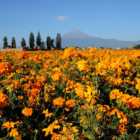 Orange flowers field by Cristobal Garciaferro Rubio - Nature Up Close Gardens & Produce ( blue sky, volcano, sky, cempazuchitl, flower, halloween flowers )