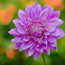 Purple Garden Dahlia by Jim Downey - Flowers Single Flower ( orange, greem, dahlia, yellow, purple )