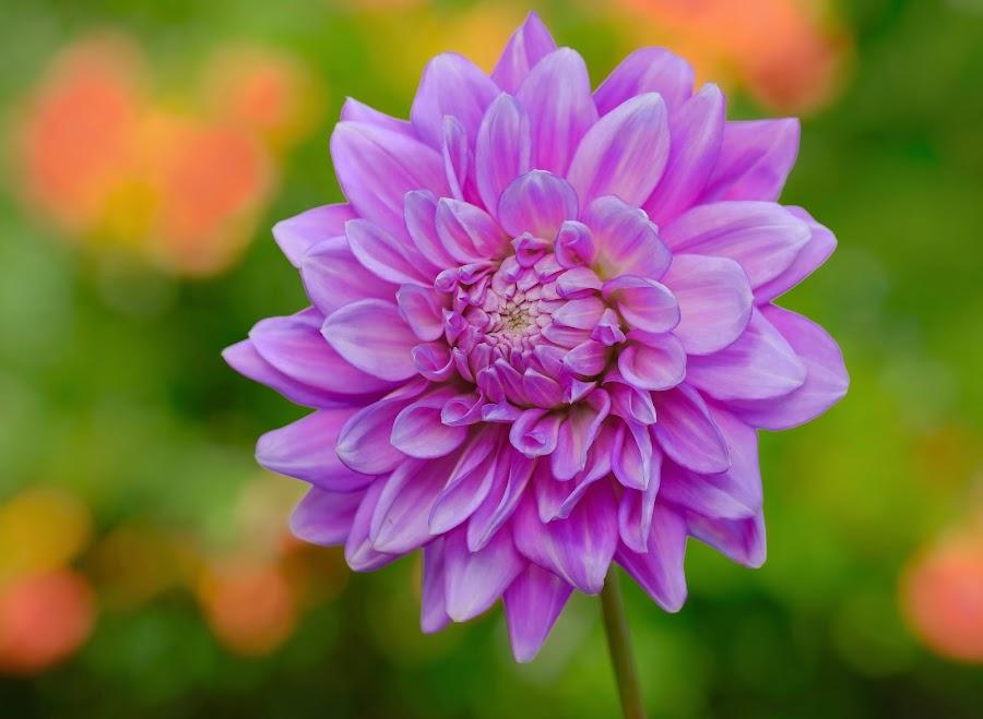 Purple Garden Dahlia by Jim Downey - Flowers Single Flower ( orange, greem, dahlia, yellow, purple )