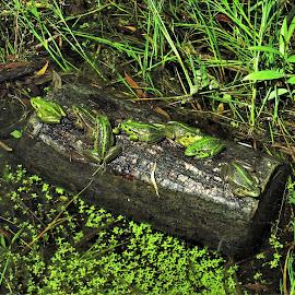by Phil Bear - Animals Amphibians ( wanaka, lake, lake wanaka, frogs, new zealand )