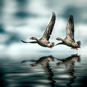 Dutch geese by Egon Zitter - Animals Birds ( water, bird, march, dutch, geese, animal )