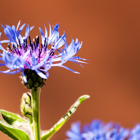 Blue flower by Emil Zaman - Flowers Single Flower ( spring, blossom, blue, garden, flower )