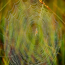 A spider in the web by Gérard CHATENET - Nature Up Close Webs