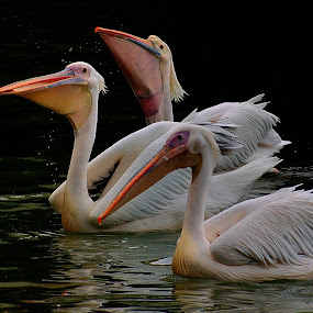 Three floating amigos by Francois Wolfaardt - Animals Birds ( contrast, water, nature, white, three, pelicans, birds, close-up,  )