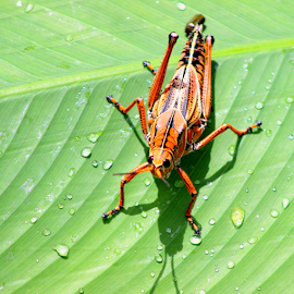 Grasshopper depositing egg by Elfie Back - Animals Insects & Spiders (  )