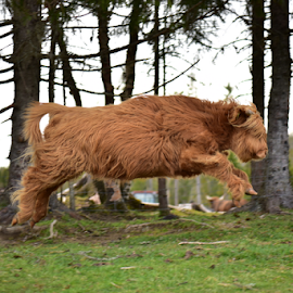 someone said cow's can't fly..?  by Kristin Smestad - Animals Other ( highland, ku, cow, cattle, running )
