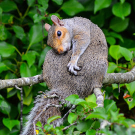 grey sqirrel by Nick Wastie - Animals Other Mammals ( squirrel )