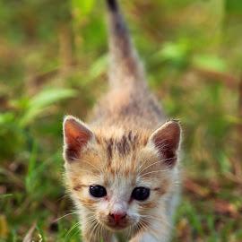 She is Chini by Arijit Mondal - Animals - Cats Kittens ( cat, kitten, pet, cute cat, cute )