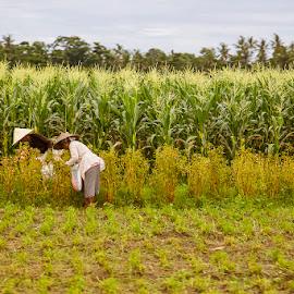 Paddy field farming by Allie Lih - Landscapes Prairies, Meadows & Fields ( rice, rice field, farmer, green, farming,  )