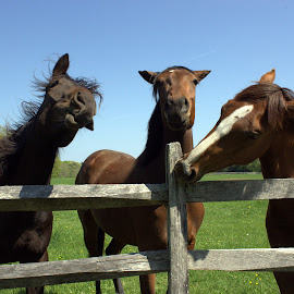 Horsing Around by Mary D'Alba - Animals Horses ( horses, horse, horses having fun, fun, laughter )