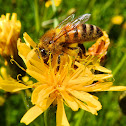 Honey Bee +Sow thistle