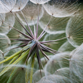 Blown Away by Marc Rossmann - Nature Up Close Flowers - 2011-2013 ( dandelion, seed, weed, flowers, blow )