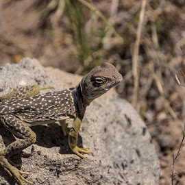 Looking for Lunch by Scott Strausser - Animals Amphibians ( up close, lizard, nature, amphibian, nature up close, wildlife )