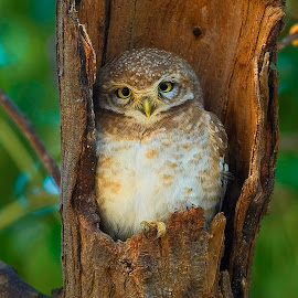 Spotted Owlet by Rajiv Garg - Animals Birds