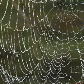 Amazing nature by Di Mc - Nature Up Close Webs ( water, dew, australia, drops, web, spider web, droplets )