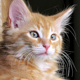 Baby Tugger by Trish Hamme - Animals - Cats Portraits (  )
