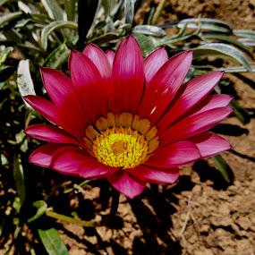 African Daisies by Ashwathi Madhavan - Flowers Flower Gardens