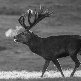 Stag by Garry Chisholm - Black & White Animals ( deer, rut, stag, nature, wildlife, garry chisholm )