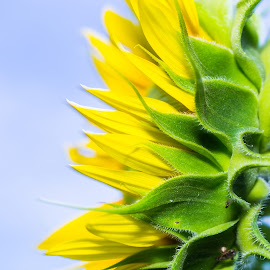 Sunflower profile by Emilio Portuondo - Nature Up Close Gardens & Produce ( wild flower, colorful, nice, sunflower, yellow, beauty, nature, awesome, florida, nature up close, interesting, flower, wonderful, naturaleza, wild, green, beautiful, miami, fantastic, close up, natural beauty, amazing, great, garden, south florida )