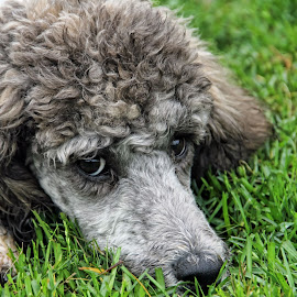 Penny by Tony Austin - Animals - Dogs Portraits ( poodle, pet, puppy, head, dog, animal )