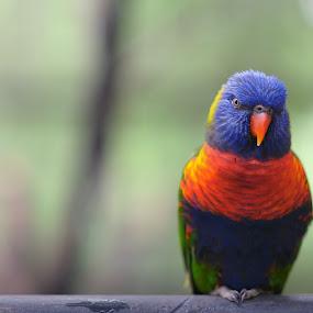 Cockatoo by Syafizul  Abdullah - Animals Birds