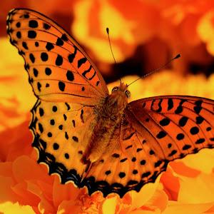 Dec 27 orange butterfly.jpg
