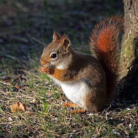 Getting Some Rays by Skip Spurgeon - Animals Other Mammals ( red squirrel, squirrel )