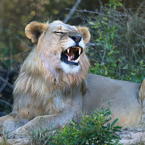 Young male lion by Aaron St Clair - Animals Lions, Tigers & Big Cats ( lion, roar, safari, south africa, eat )