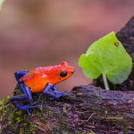 Rana flecha roja y azul by Erick Castro Alvarado - Animals Amphibians ( dendrobates pumilio, frog, anfibio, amphibian, rana,  )