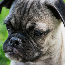 Goyo by Sergio Yorick - Animals - Dogs Puppies ( dog portrait, puppy, dog, pug, animal )