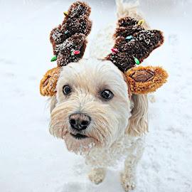 Reindeer Dog by B Lynn - Animals - Dogs Portraits ( face, puppies, dogs, puppy, portraits, dog, portrait )