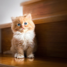 Cute little red kitten Persian Cat Siting on stairs at home by Jaruwan Jaiyangyuen - Animals - Cats Kittens ( studio, home, breed, cat, playful, furry, one, little, cute, pretty, eyes, child, curious, life, fur, striped, baby, feline, hair, tabby, kitty, pussy, animal, look, orange, kitten, beautiful, funny, white, scottish, fun, young, tail, domestic, mammal, portrait, soft, fluffy, sitting, red, pet, adorable, legs, small, standing )